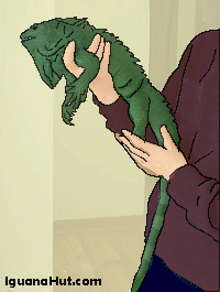 Holding an iguana with one hand
