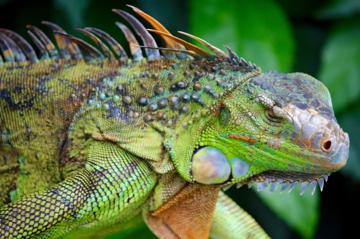 How To Avoid Hypercalcemia in Iguana