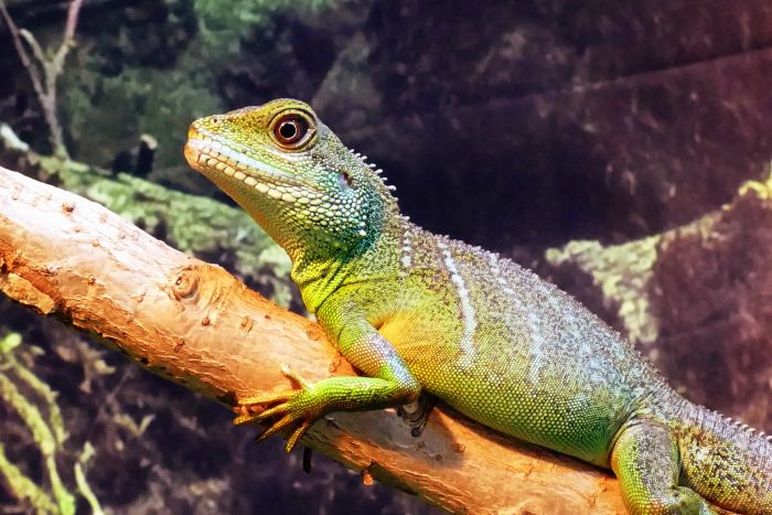 Classification of Genus and Iguana Species