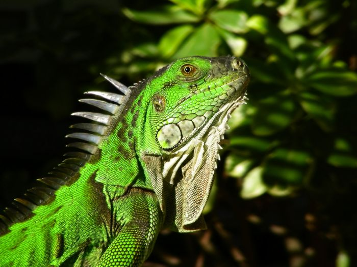 Things To Know When Your Iguana Lost Its Tail