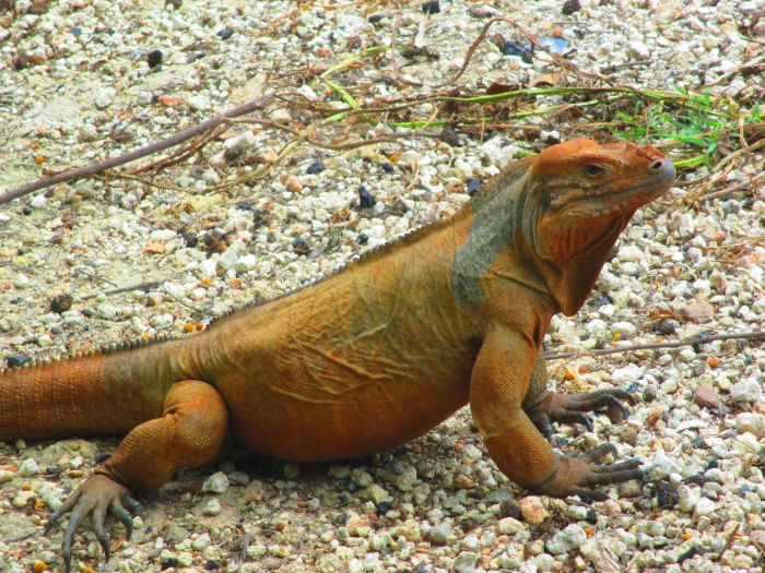Iguana Shedding : Everything You Need To Know