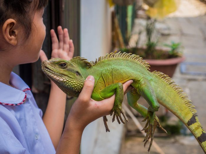 Iguana Health : Avoid Iguana Typhi Disease