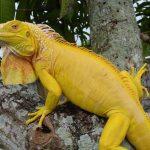 Green Albino Iguana