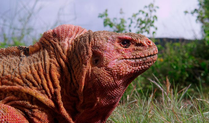 Galapagos pink land iguana