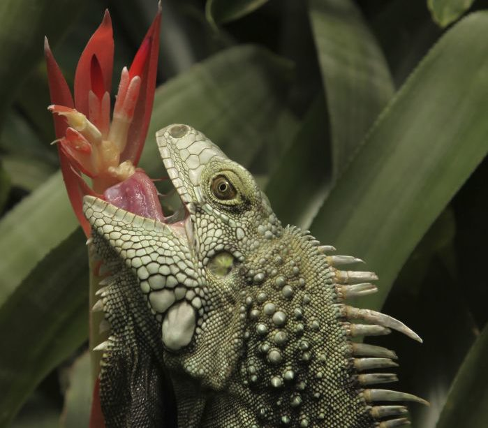 What Causes Your Iguana To Bite?