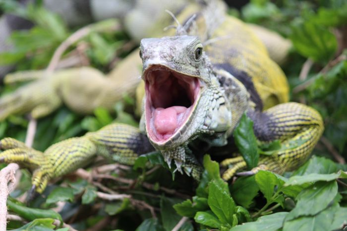 Amazing Facts About Iguana