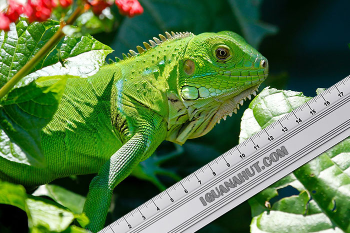Green Iguana Growth Chart : Size and Length