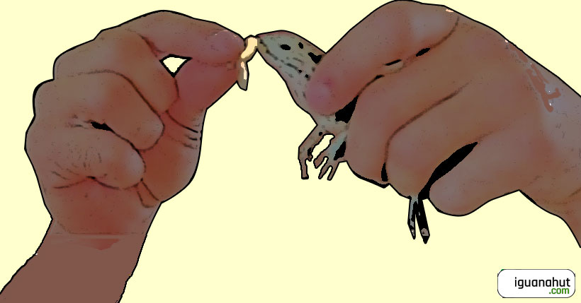 Hand feeding baby iguana